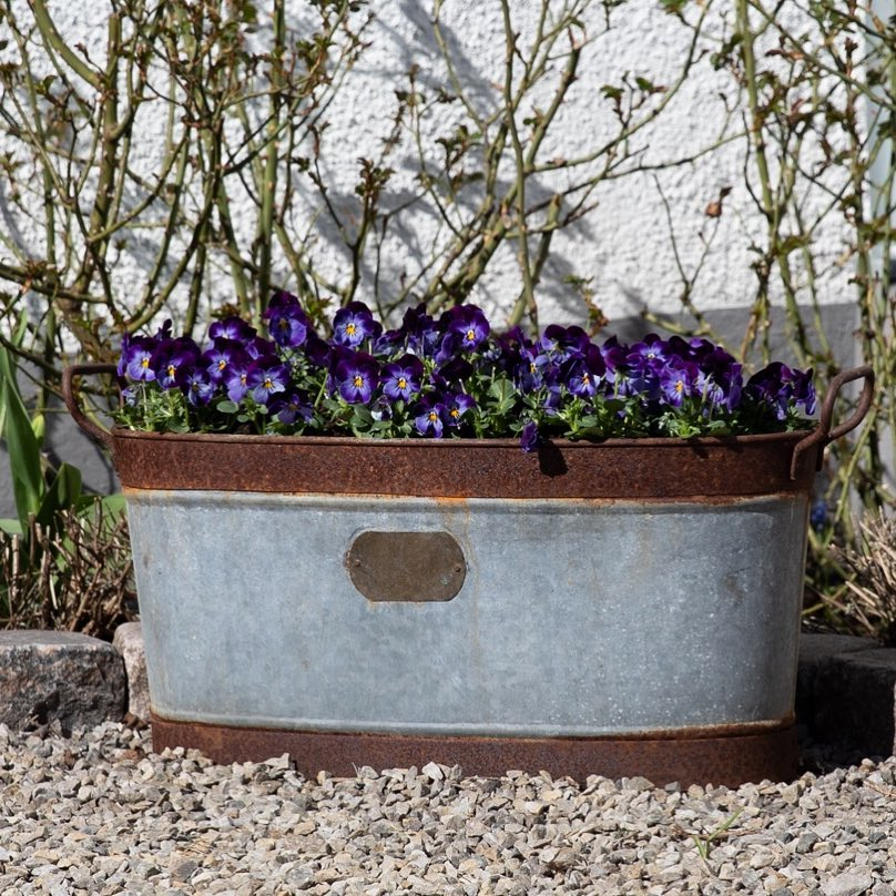 Dark purple pansies planted in a vintage container