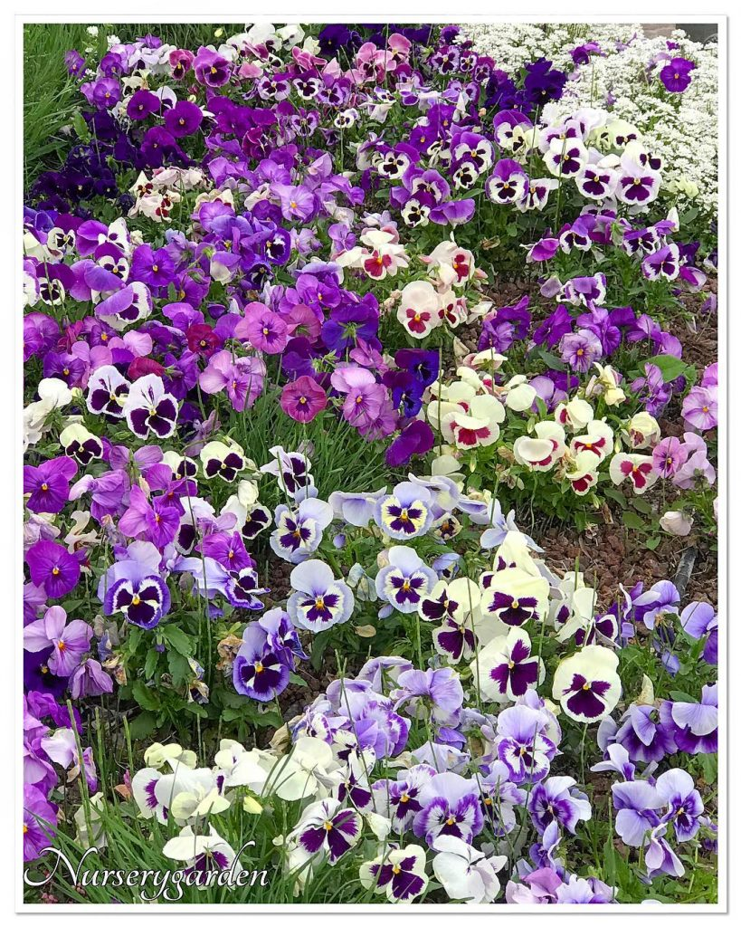 Purple variations of pansies for your garden