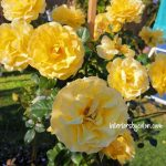The Golden Child Rose - Yellow