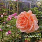Just Joey Rose Orange