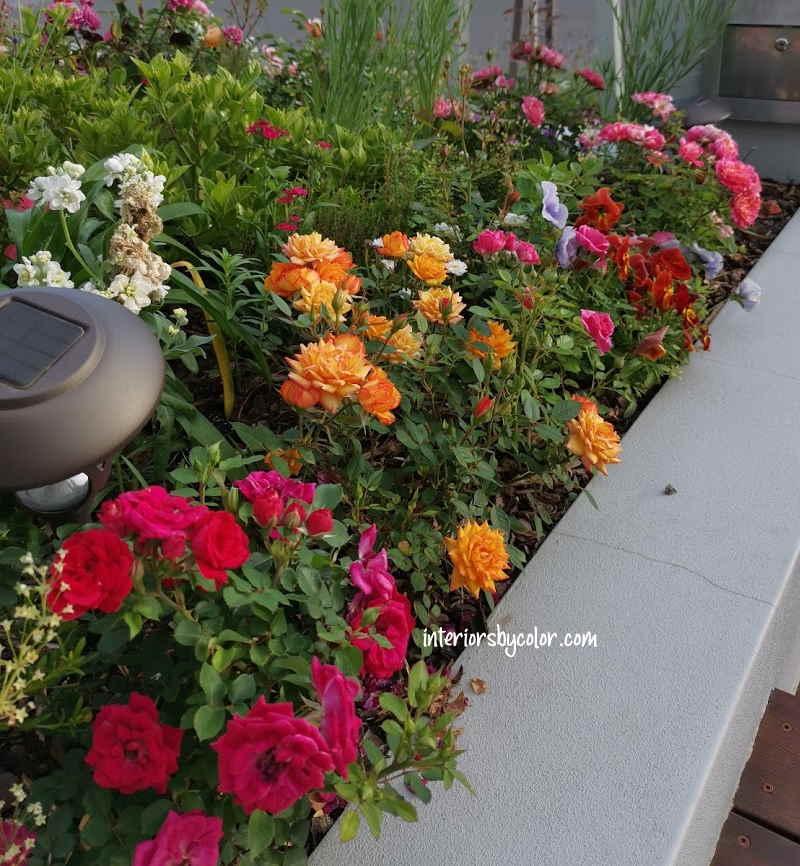 miniature-roses-garden