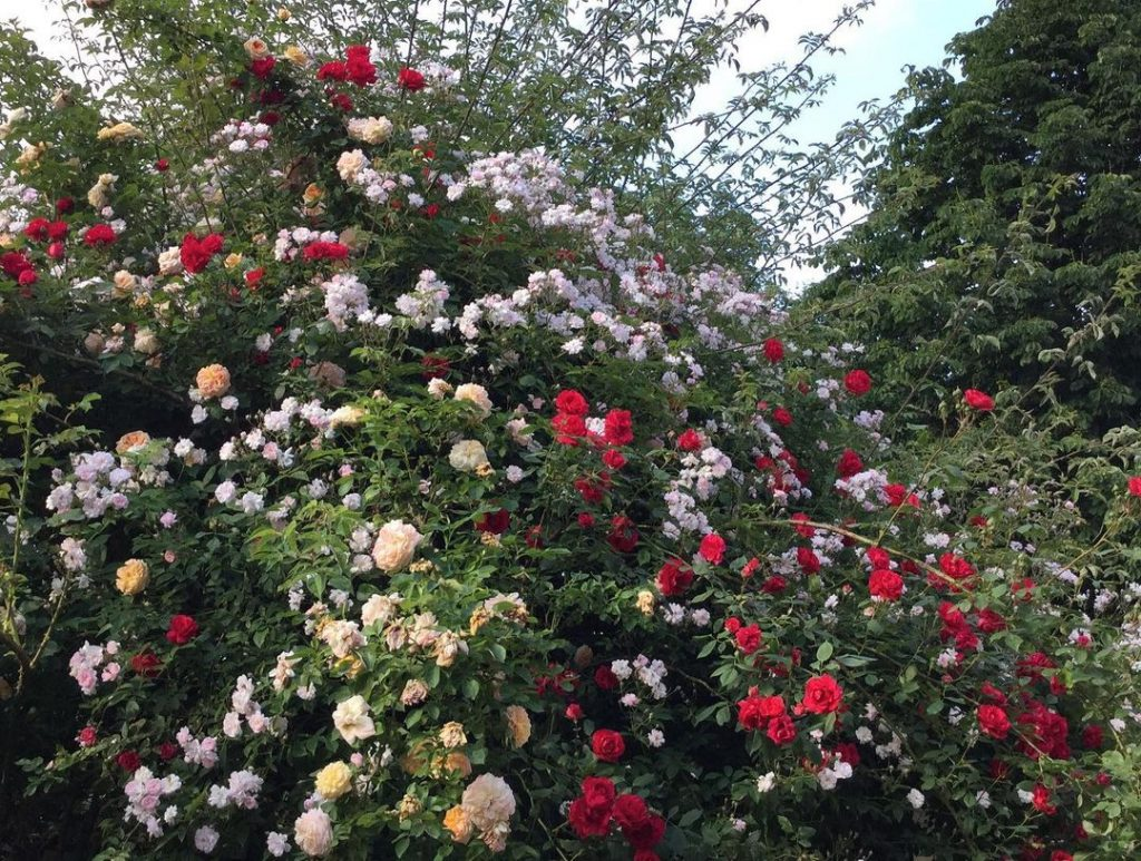 A combination of three different roses. Climbing roses and rambler roses. Paul's Himalayan Musk, Alchemist rose and Sympathy rose.