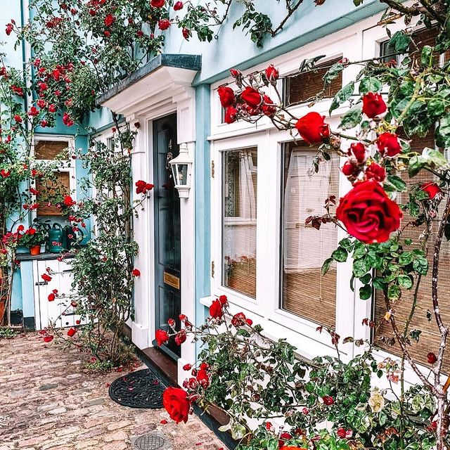 Climbing red roses on a blue painted wall in Notting Hill London