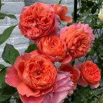 Rose Gardens of Instagram