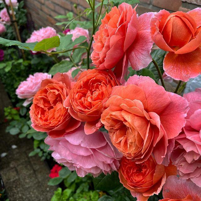David Austin Rose Summer Song salmon rose