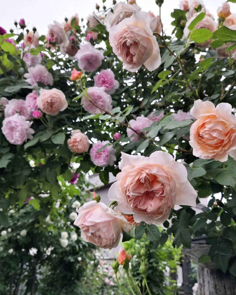 David Austin roses archway