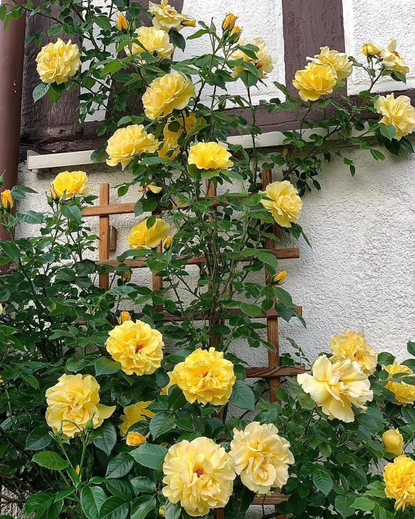 Dukat rose