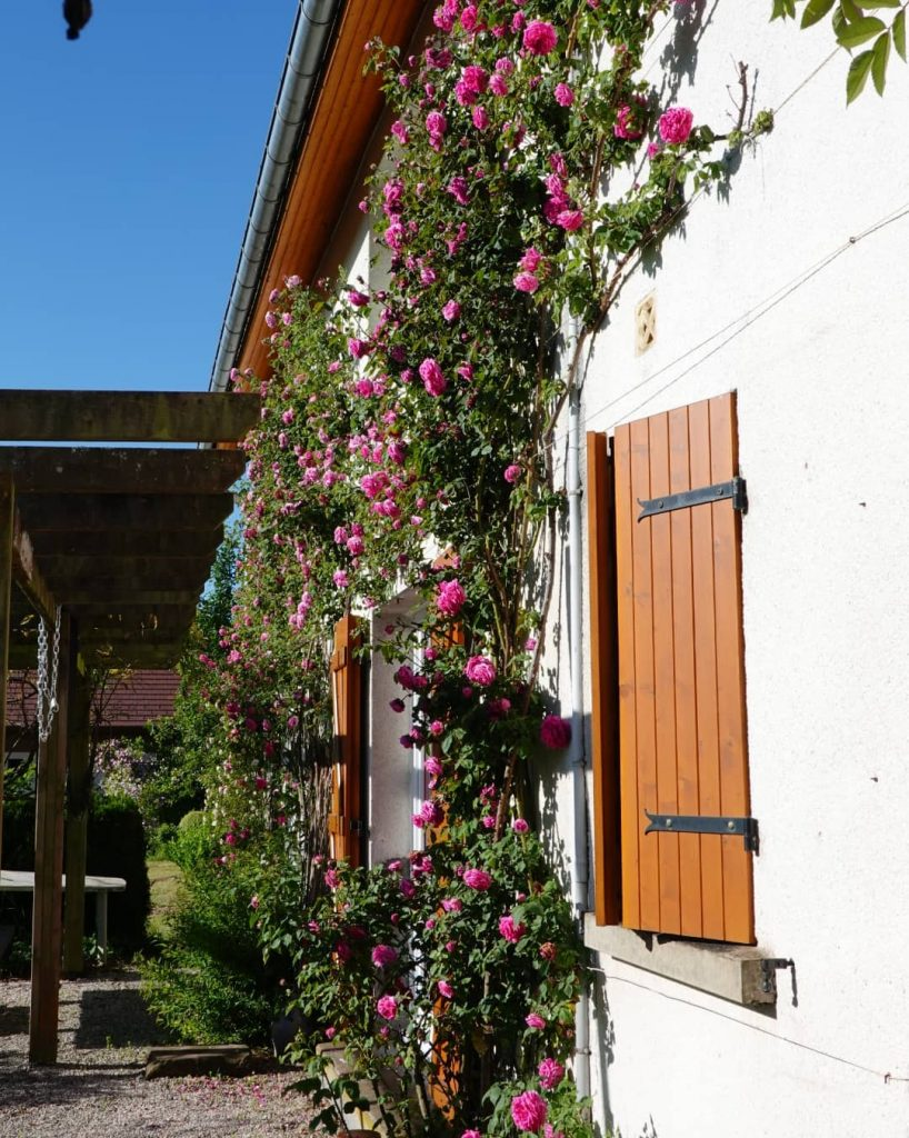 Pink climbing roses wall of house