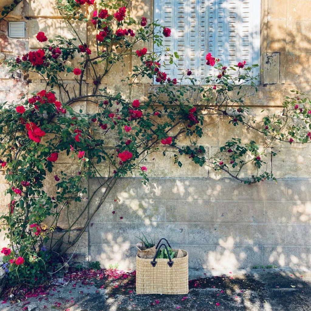 A beautiful red climbing rose