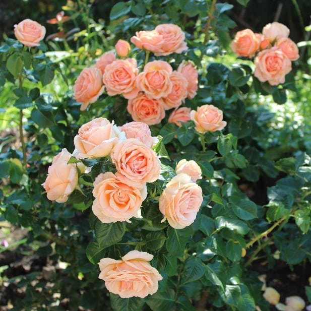 Yours in Continued Friendship Rose